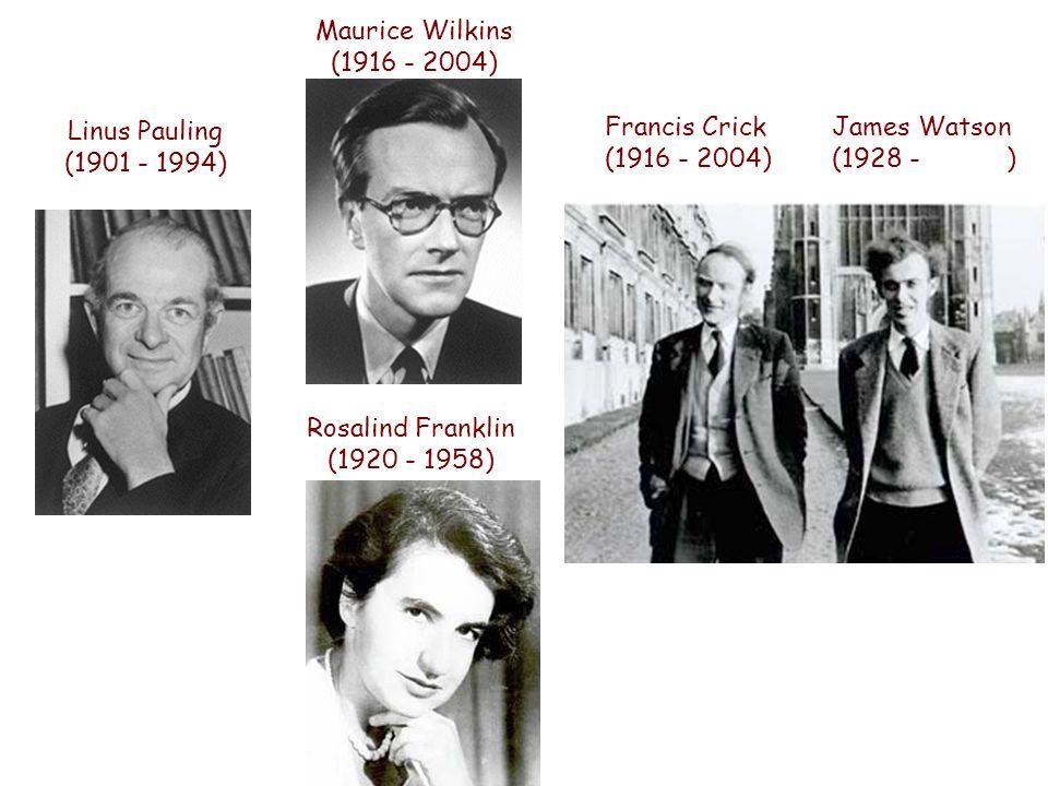 Linus Pauling (1901 - 1994) Rosalind Franklin (1920 - 1958) Maurice Wilkins (1916 - 2004) Francis Crick (1916 - 2004) James Watson (1928 - )