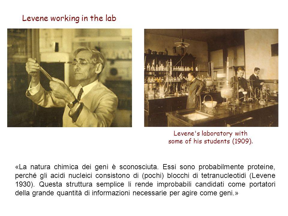 Levene working in the lab Levene's laboratory with some of his students (1909). «La natura chimica dei geni è sconosciuta. Essi sono probabilmente pro