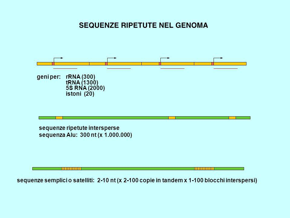geni per: rRNA (300) tRNA (1300) 5S RNA (2000) istoni (20) sequenze ripetute intersperse sequenza Alu: 300 nt (x 1.000.000) sequenze semplici o satelliti: 2-10 nt (x 2-100 copie in tandem x 1-100 blocchi interspersi)