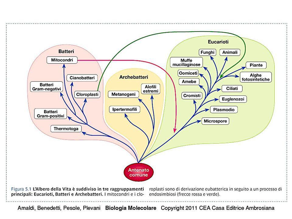 geni per: rRNA (300) tRNA (1300) 5S RNA (2000) istoni (20) sequenze ripetute intersperse sequenza Alu: 300 nt (x 1.000.000) sequenze semplici o satelliti: 2-10 nt (x 2-100 copie in tandem x 1-100 blocchi interspersi)