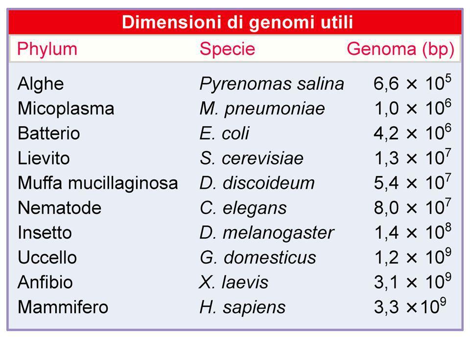 La percentuale di DNA non ripetitivo tende a diminuire con l aumentare della grandezza del genoma