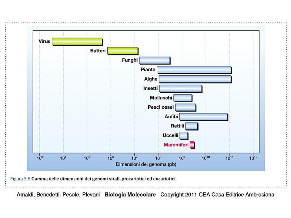 Paradosso del valore C Eccesso di DNA rispetto alla complessità Variazioni di valore C per complessità simili