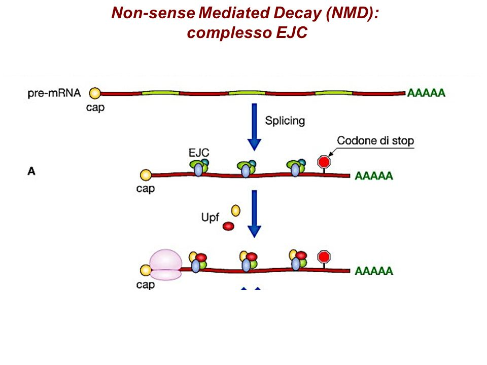 Non-sense Mediated Decay (NMD): complesso EJC