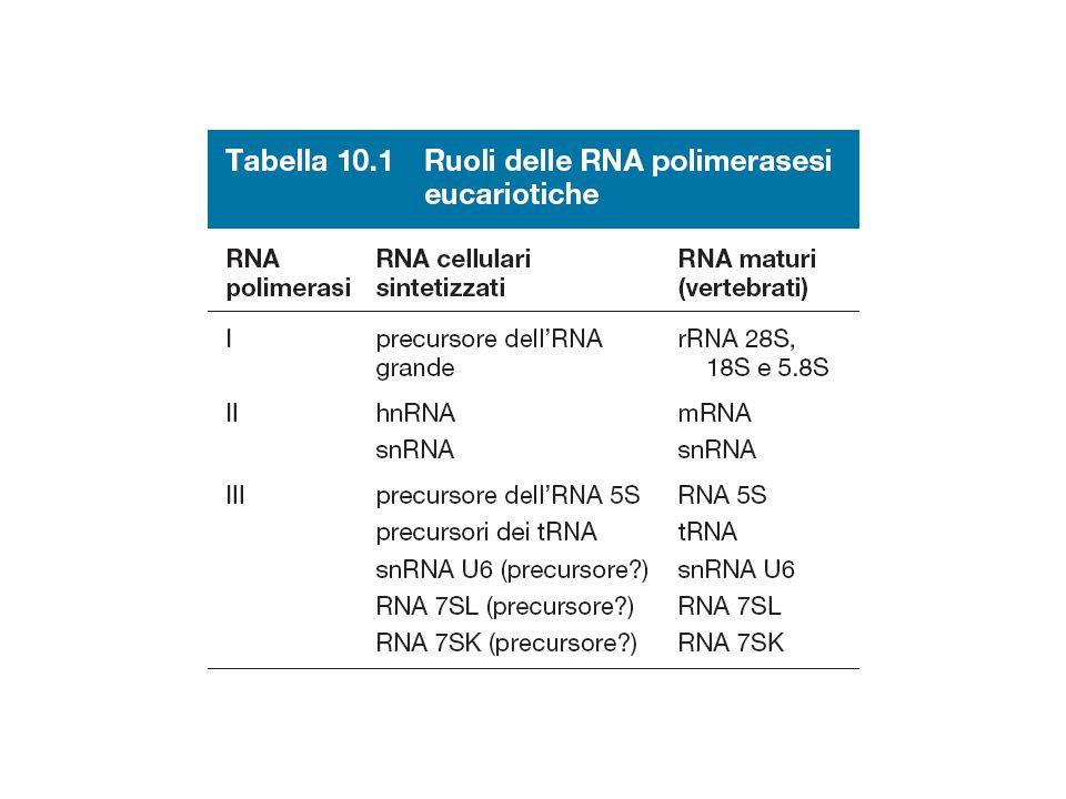 I promotori eucariotici sono costituiti da una associazione variabile di box 1 -20-40-60-80-100 10 -120-140 OttameroCAATGC SV40 (promotore precoce) Timidina kinasi Istone H2B