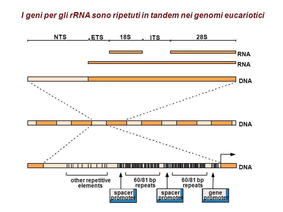 I precursori degli rRNA sono piu lunghi della somma degli rRNA maturi