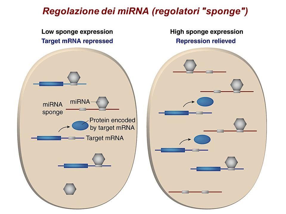 Regolazione dei miRNA (regolatori