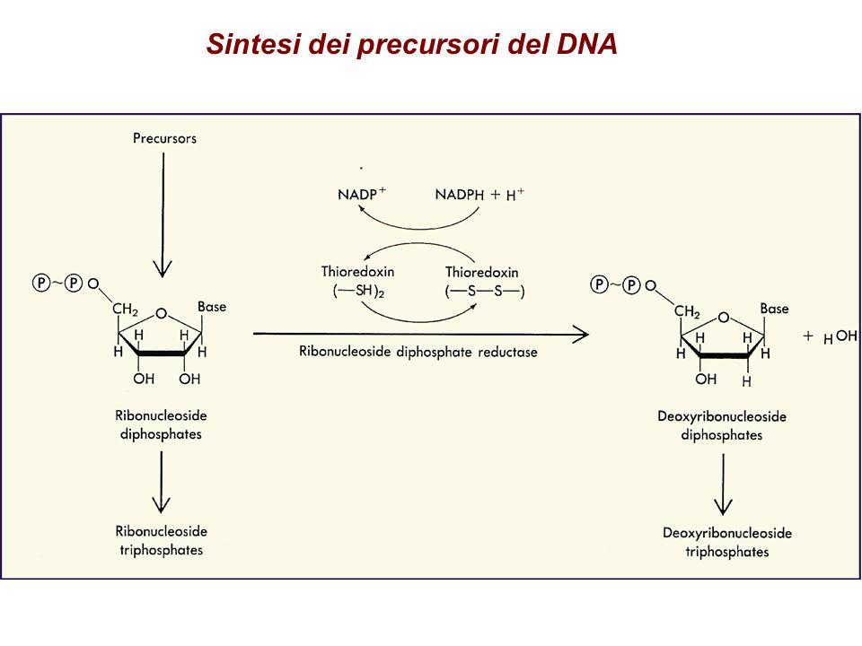 Sintesi dei precursori del DNA