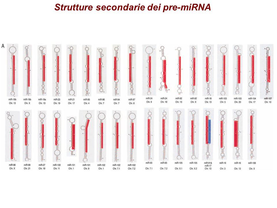 Strutture secondarie dei pre-miRNA