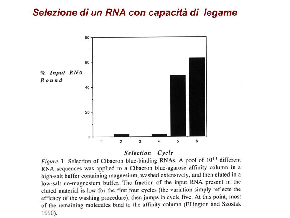 Selezione di un RNA con capacità di legame