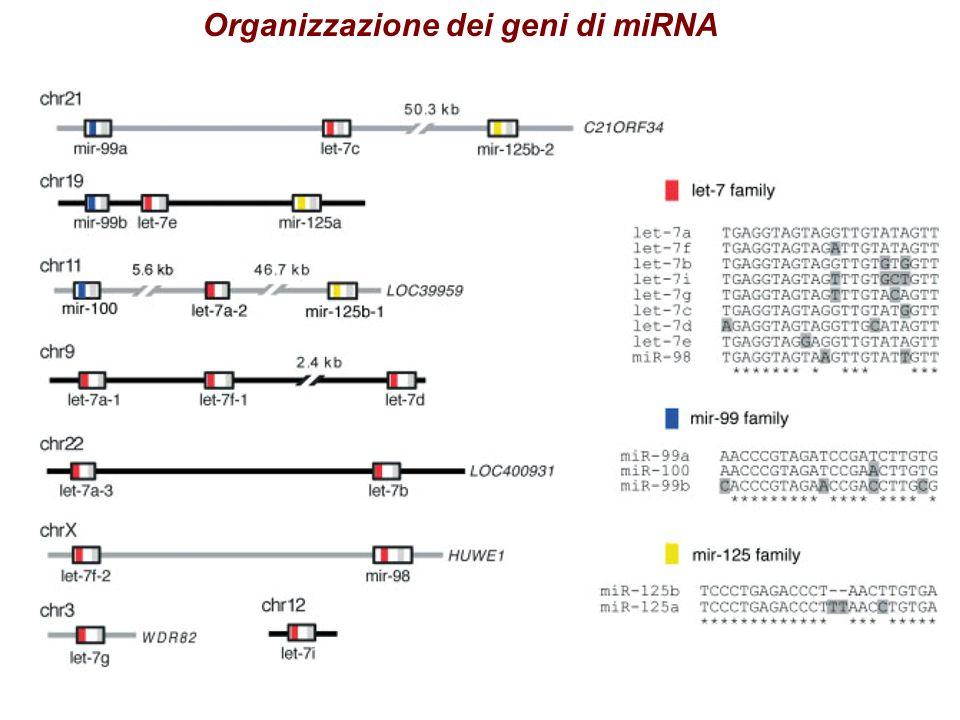 Organizzazione dei geni di miRNA