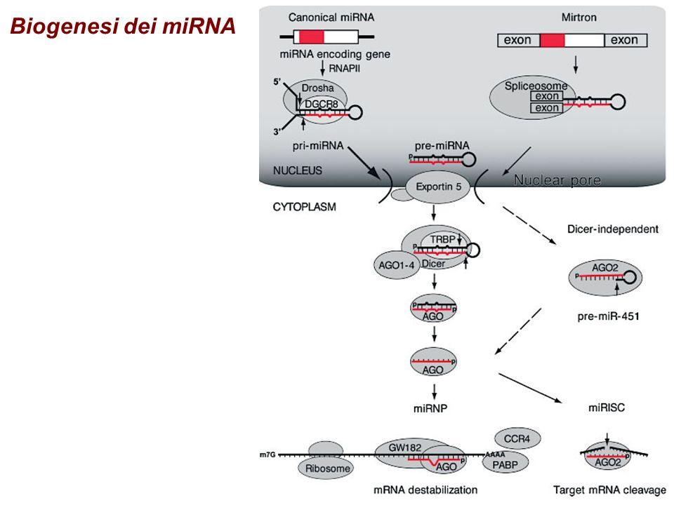 Selezione di una RNA polimerasi