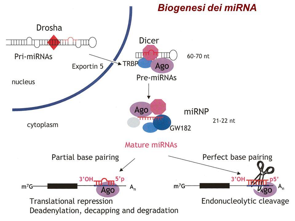 Regolazione mediata dai miRNA