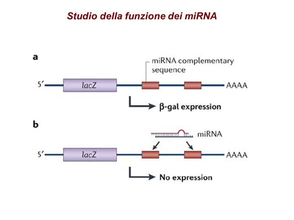 Meccanismo di azione dei miRNA
