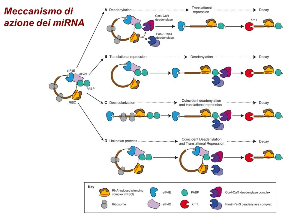 Regolazione dei miRNA (regolatori sponge )