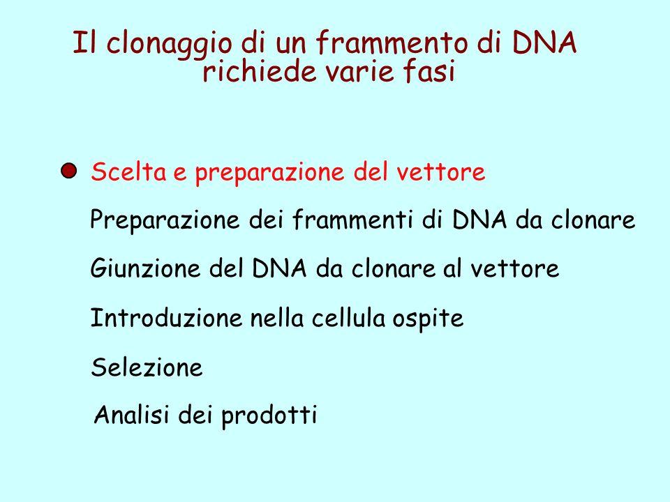 Preparazione dei frammenti di DNA da clonare Giunzione del DNA da clonare al vettore Introduzione nella cellula ospite Selezione Scelta e preparazione