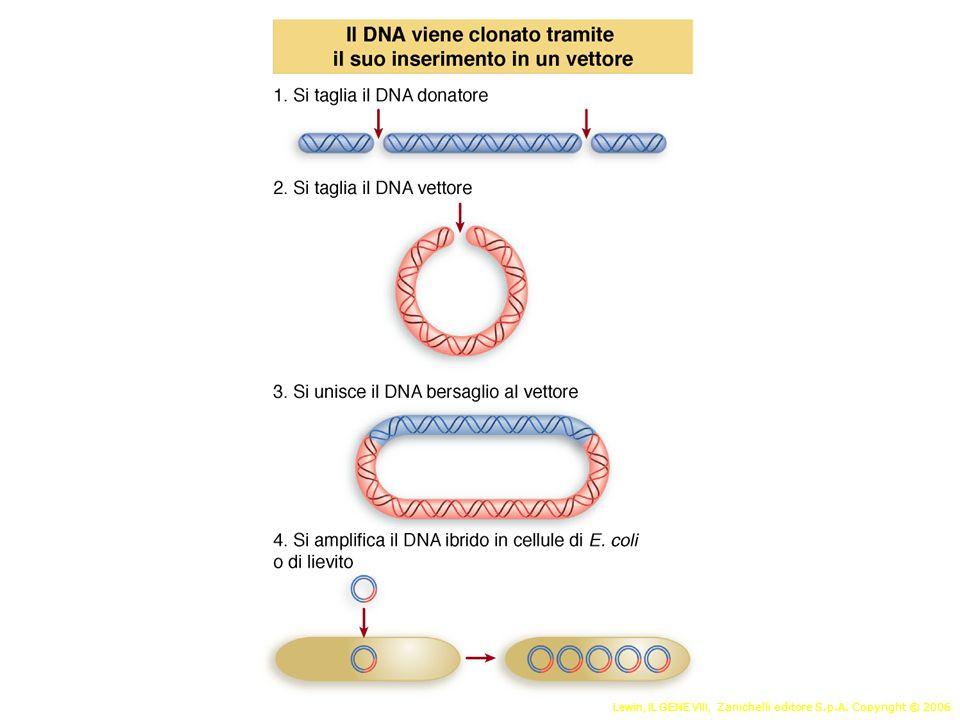 1.Origine di replicazione 2.Marcatore di selezione 3.Sito di restrizione unico Elementi di un vettore plasmidico
