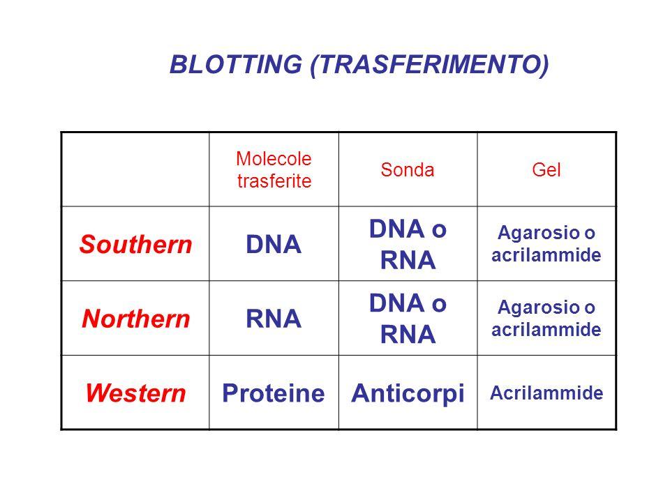 BLOTTING (TRASFERIMENTO) Molecole trasferite SondaGel SouthernDNA DNA o RNA Agarosio o acrilammide NorthernRNA DNA o RNA Agarosio o acrilammide Wester
