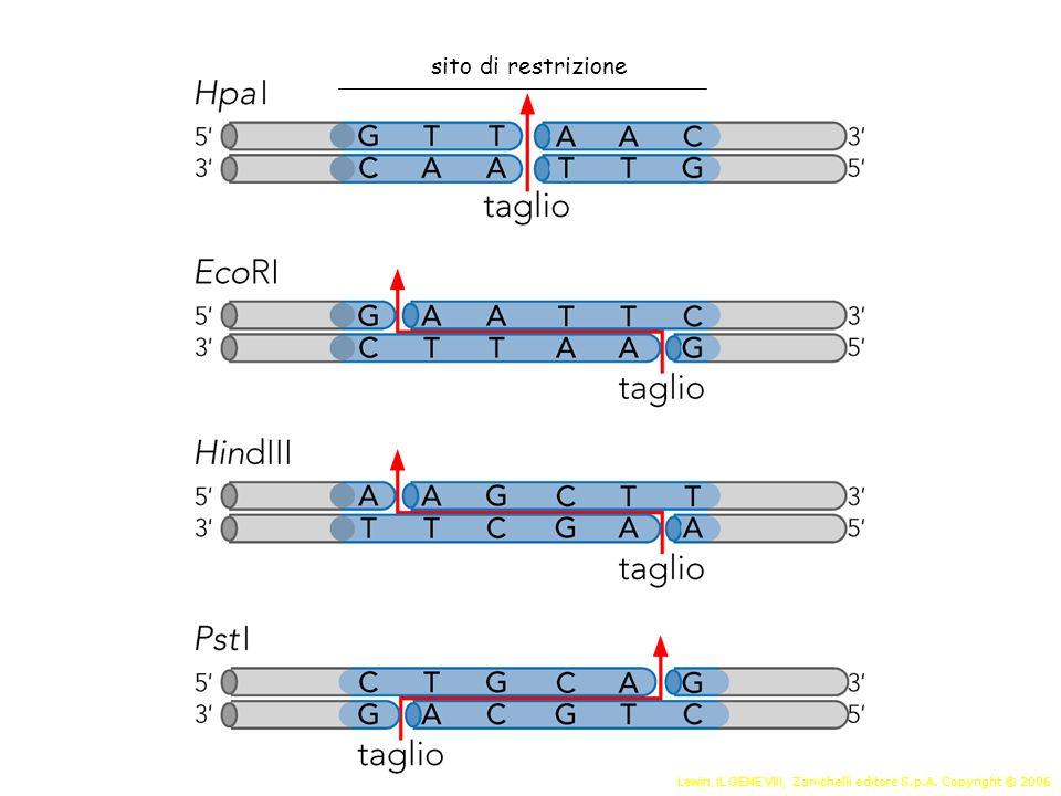 Preparazione dei frammenti di DNA da clonare Scelta e preparazione del vettore Giunzione del DNA da clonare al vettore Introduzione nella cellula ospite Selezione Il clonaggio di un frammento di DNA richiede varie fasi Analisi dei prodotti