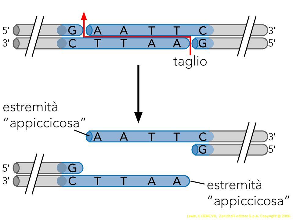 Introduzione del DNA nella cellula ospite Trasformazione: CaCl2 Impacchettamento e infezione fagica In E.coli Elettroporazione In cellule di eucarioti superiori Trasfezione (transiente o stabile): Calcio fosfato Liposomi Elettroporazione Microiniezione DNA gun