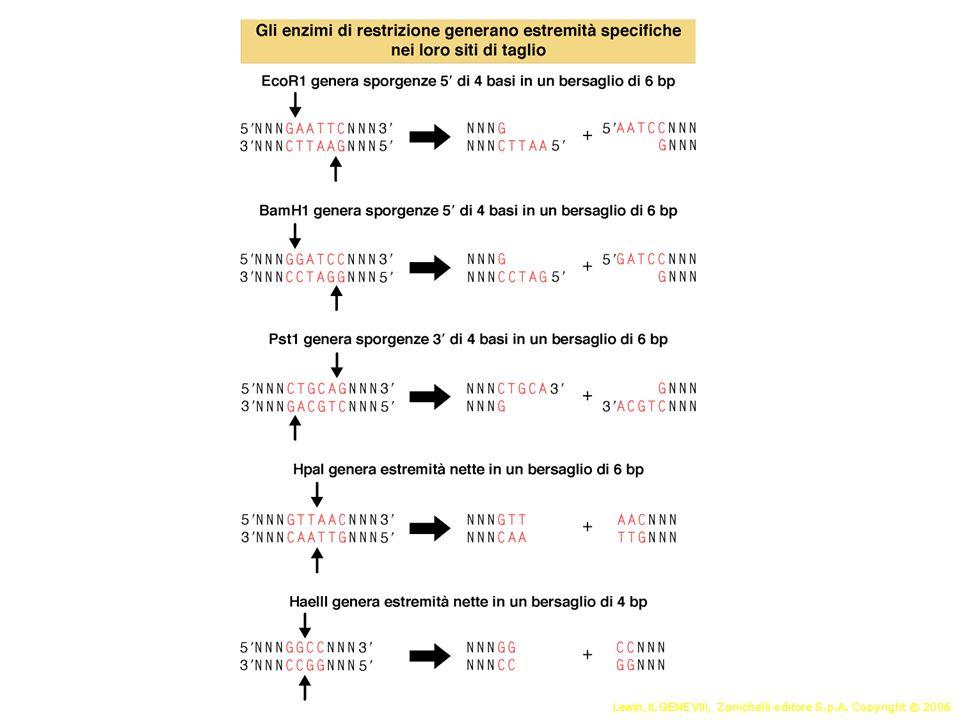 Uso degli enzimi di restrizione Clonaggio Mappa di restrizione Polimorfismi di restrizione (RFLP)