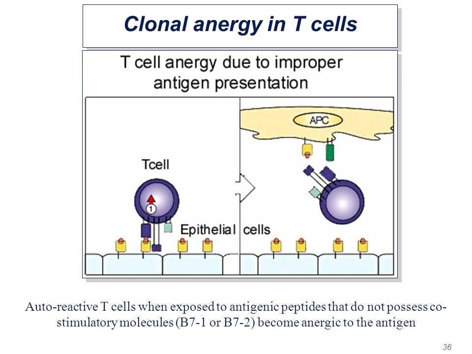 36 Clonal anergy in T cells Auto-reactive T cells when exposed to antigenic peptides that do not possess co- stimulatory molecules (B7-1 or B7-2) beco