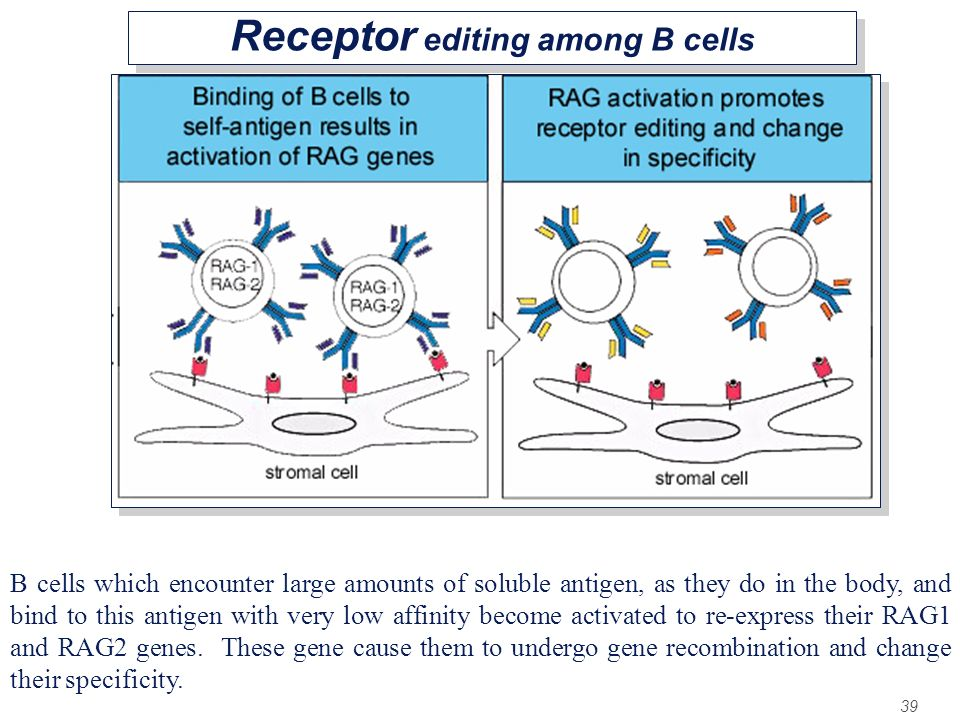 39 Receptor editing among B cells B cells which encounter large amounts of soluble antigen, as they do in the body, and bind to this antigen with very