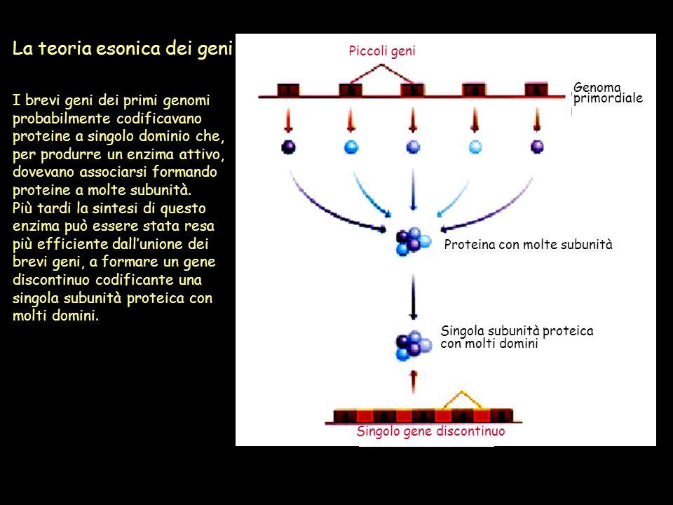 La teoria esonica dei geni I brevi geni dei primi genomi probabilmente codificavano proteine a singolo dominio che, per produrre un enzima attivo, dov