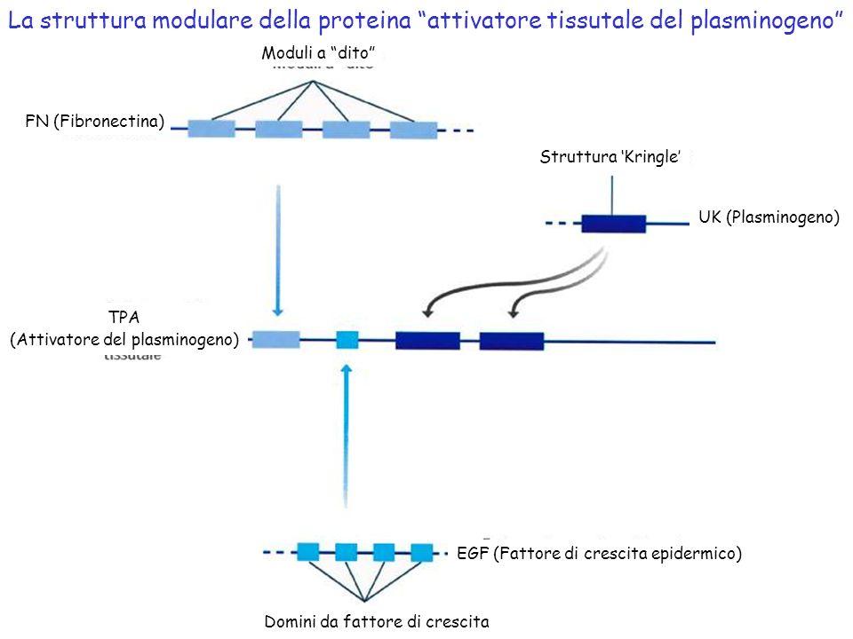 Moduli a dito FN (Fibronectina) Struttura Kringle UK (Plasminogeno) TPA (Attivatore del plasminogeno) EGF (Fattore di crescita epidermico) Domini da f