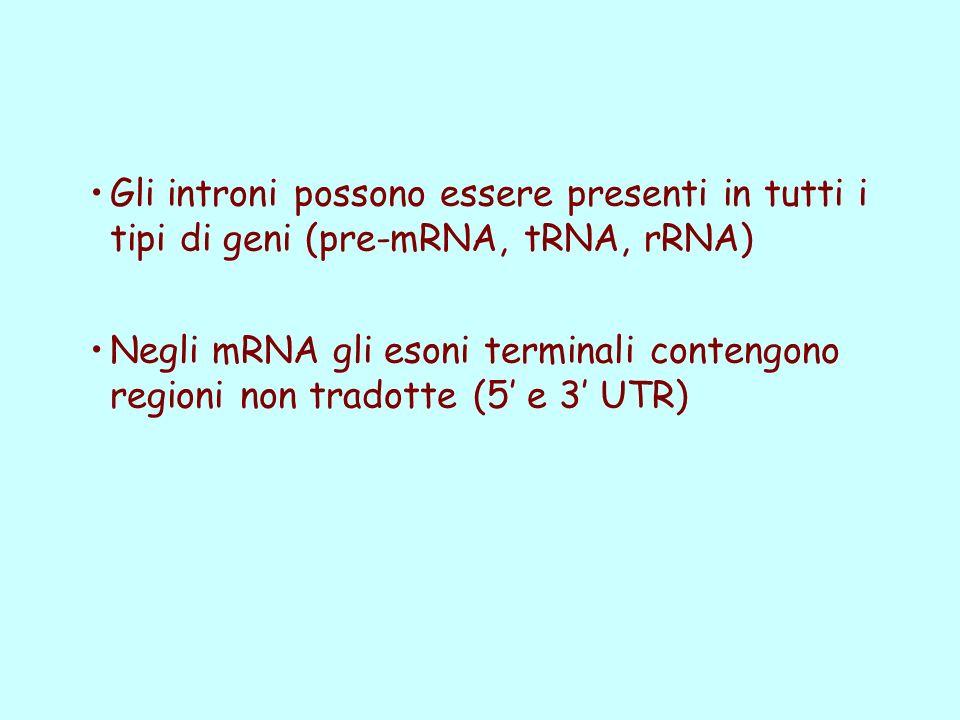 Gli introni possono essere presenti in tutti i tipi di geni (pre-mRNA, tRNA, rRNA) Negli mRNA gli esoni terminali contengono regioni non tradotte (5 e