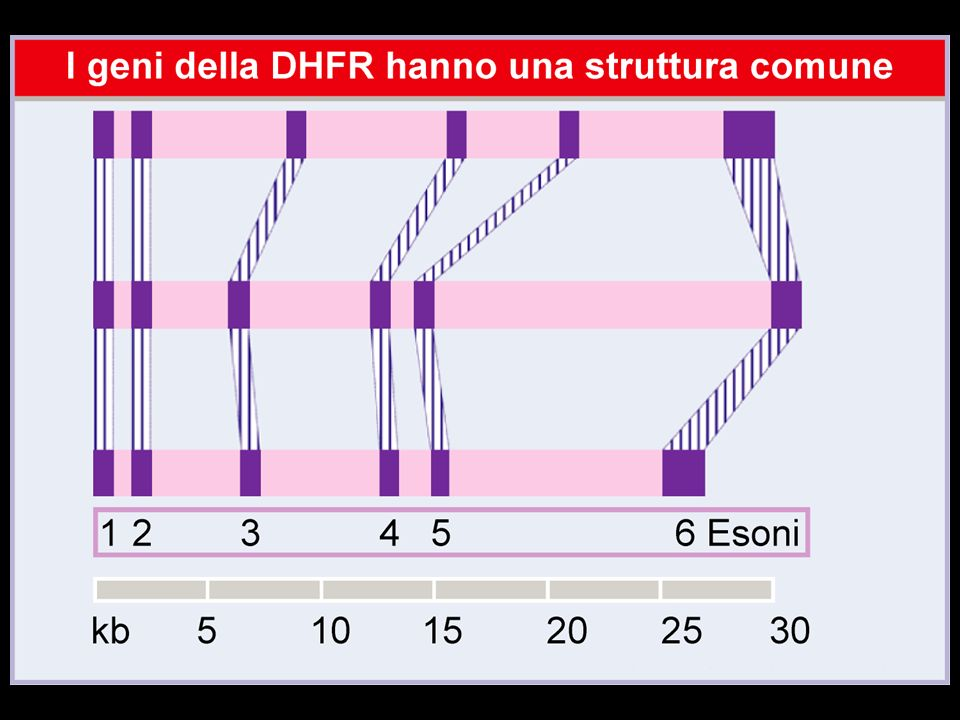 La teoria esonica dei geni I brevi geni dei primi genomi probabilmente codificavano proteine a singolo dominio che, per produrre un enzima attivo, dovevano associarsi formando proteine a molte subunità.