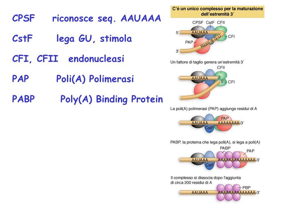 CPSF riconosce seq. AAUAAA CstF lega GU, stimola CFI, CFIIendonucleasi PAP Poli(A) Polimerasi PABP Poly(A) Binding Protein