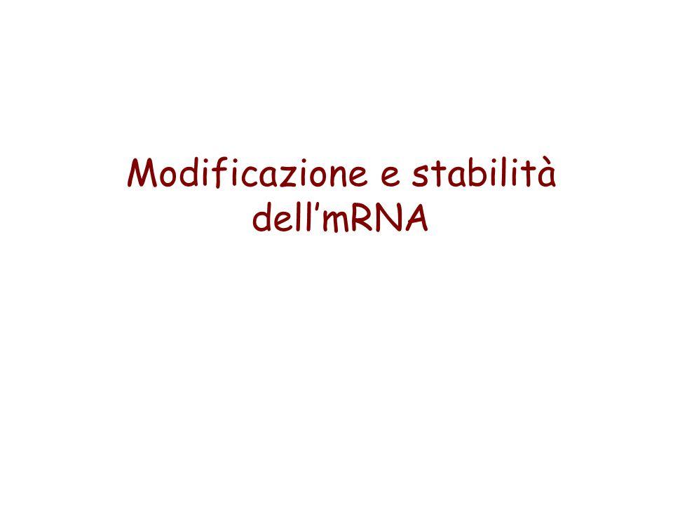 Modificazione e stabilità dellmRNA