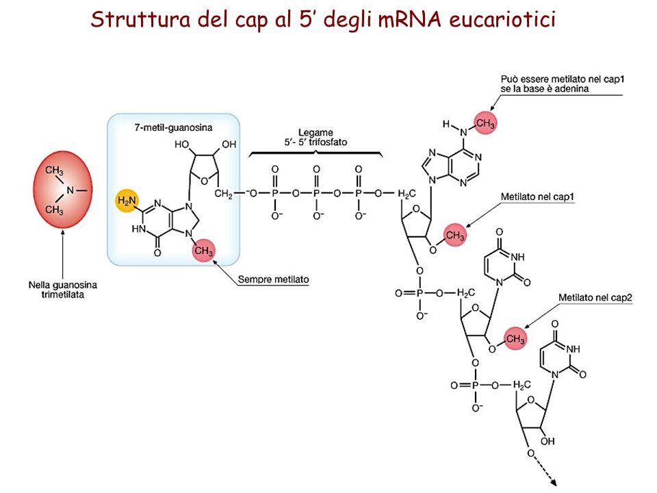 Struttura del cap al 5 degli mRNA eucariotici