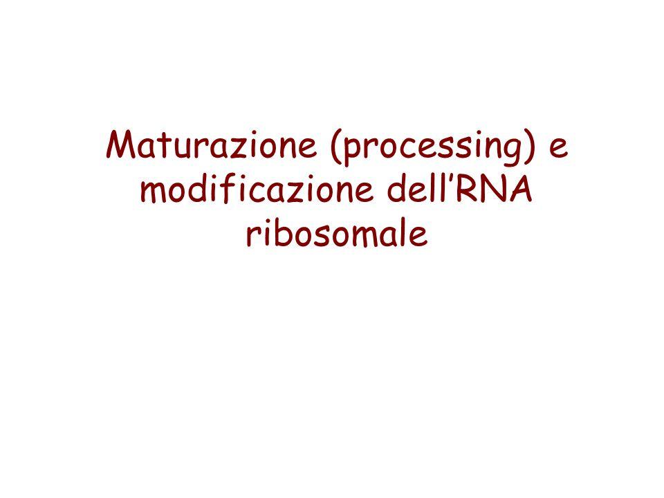 Maturazione (processing) e modificazione dellRNA ribosomale