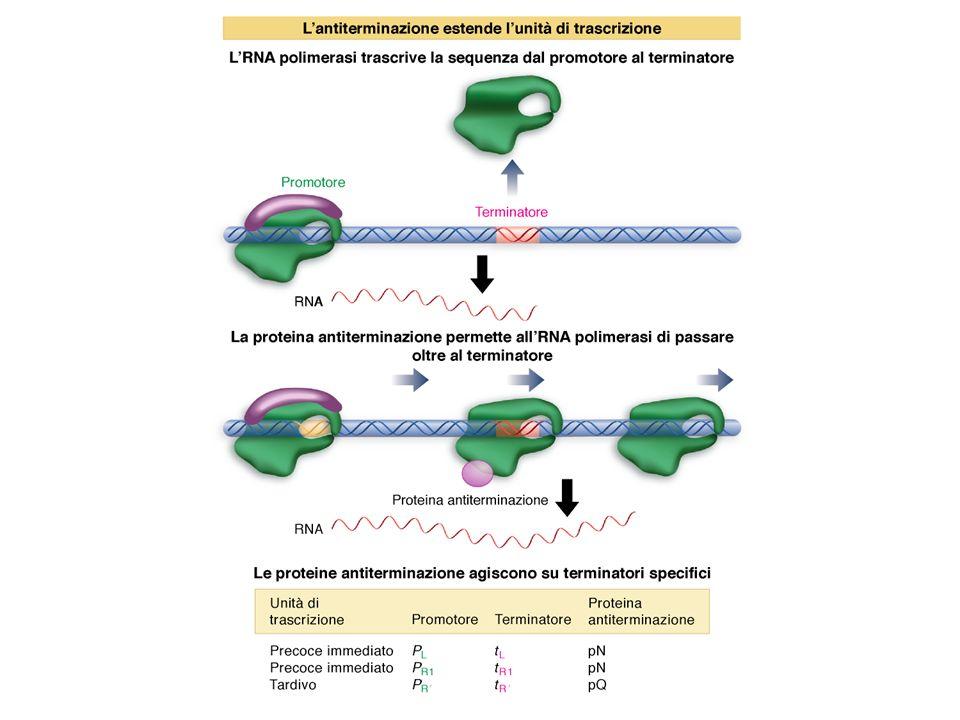 Peptidi leader degli operoni attenuati codificanti i geni per la sintesi degli amminoacidi