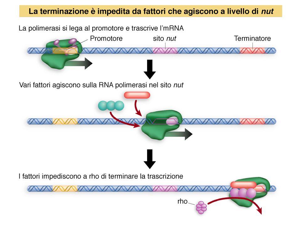 Terminazione negli eucarioti
