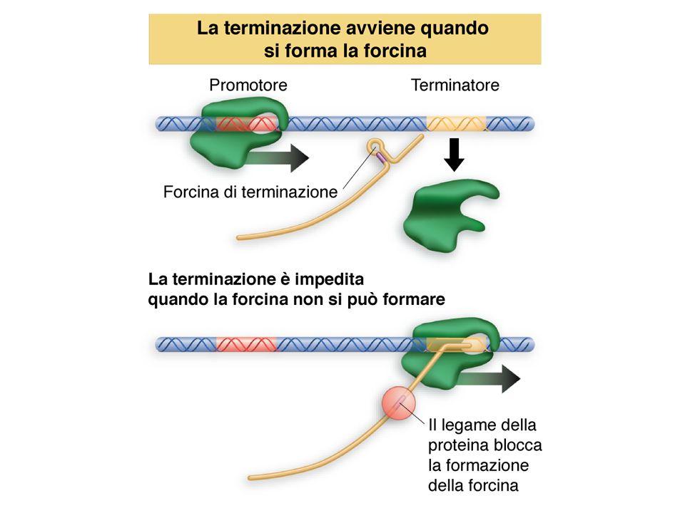 La poliadenilazione degli mRNA eucariotici