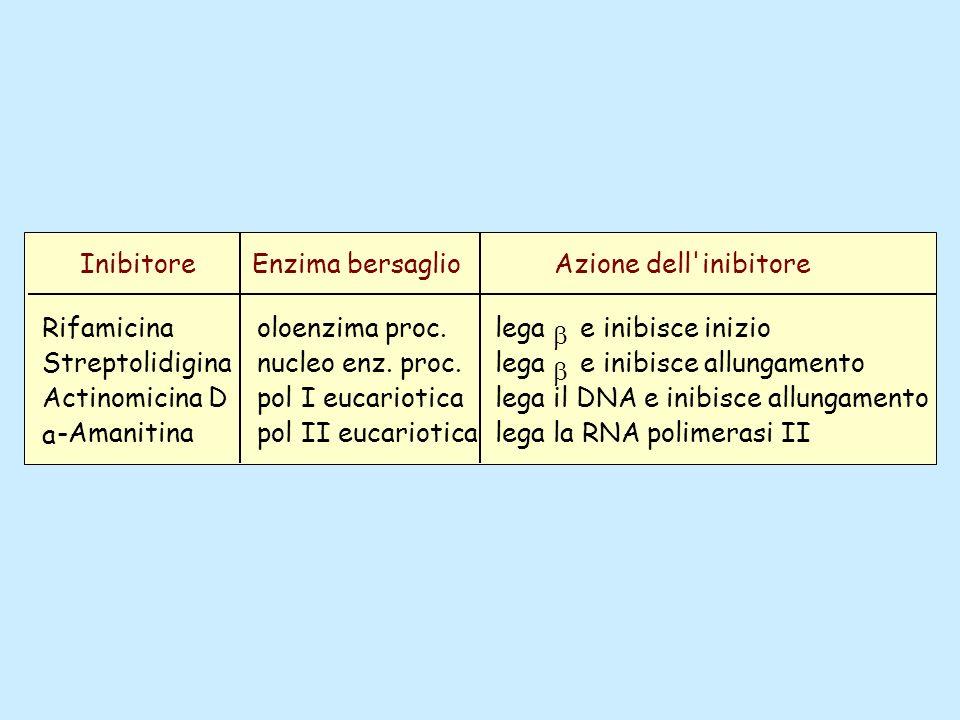InibitoreEnzima bersaglioAzione dell'inibitore Rifamicina Streptolidigina Actinomicina D a -Amanitina oloenzima proc. nucleo enz. proc. pol I eucariot