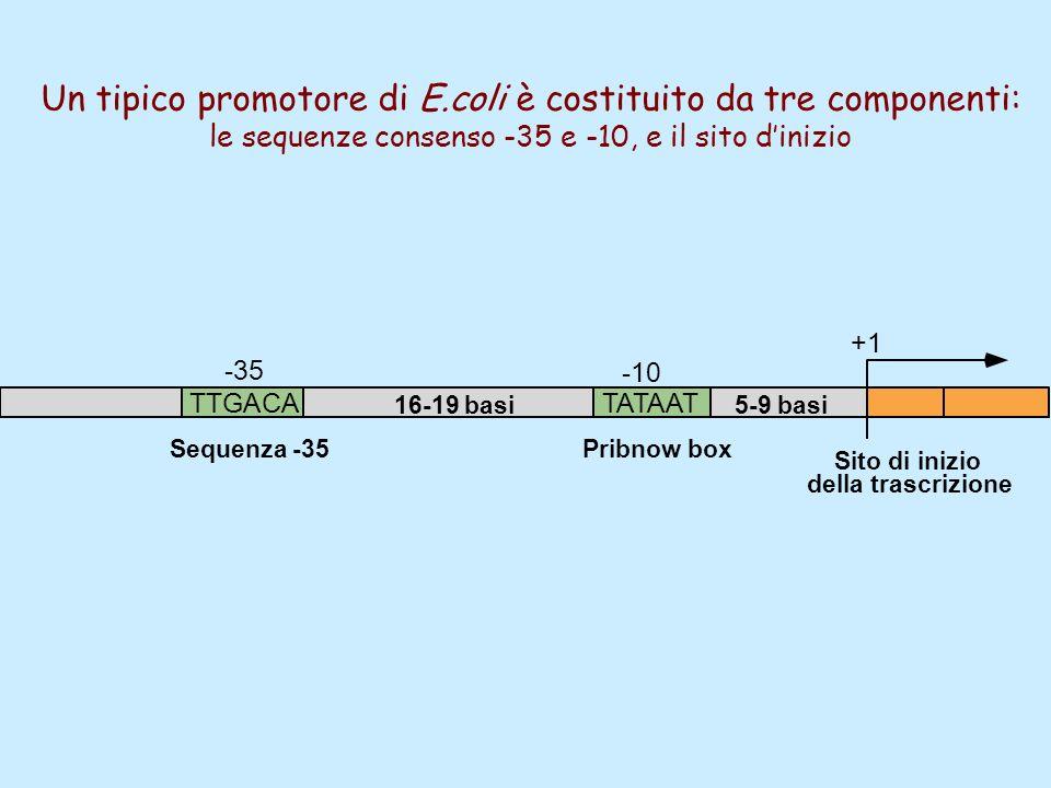 TATAATTTGACA 5-9 basi16-19 basi -10 -35 Sequenza -35Pribnow box Sito di inizio della trascrizione +1 Un tipico promotore di E.coli è costituito da tre