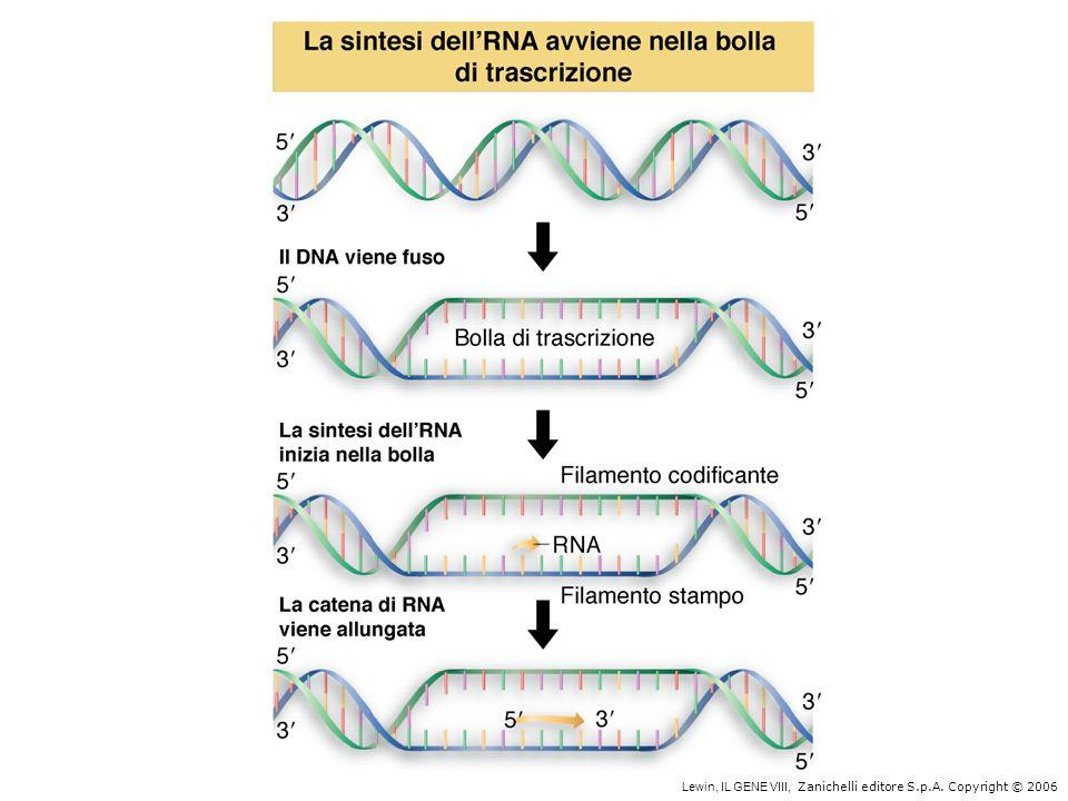 TATAATTTGACA 5-9 basi16-19 basi -10 -35 Sequenza -35Pribnow box Sito di inizio della trascrizione +1 Un tipico promotore di E.coli è costituito da tre componenti: le sequenze consenso -35 e -10, e il sito dinizio