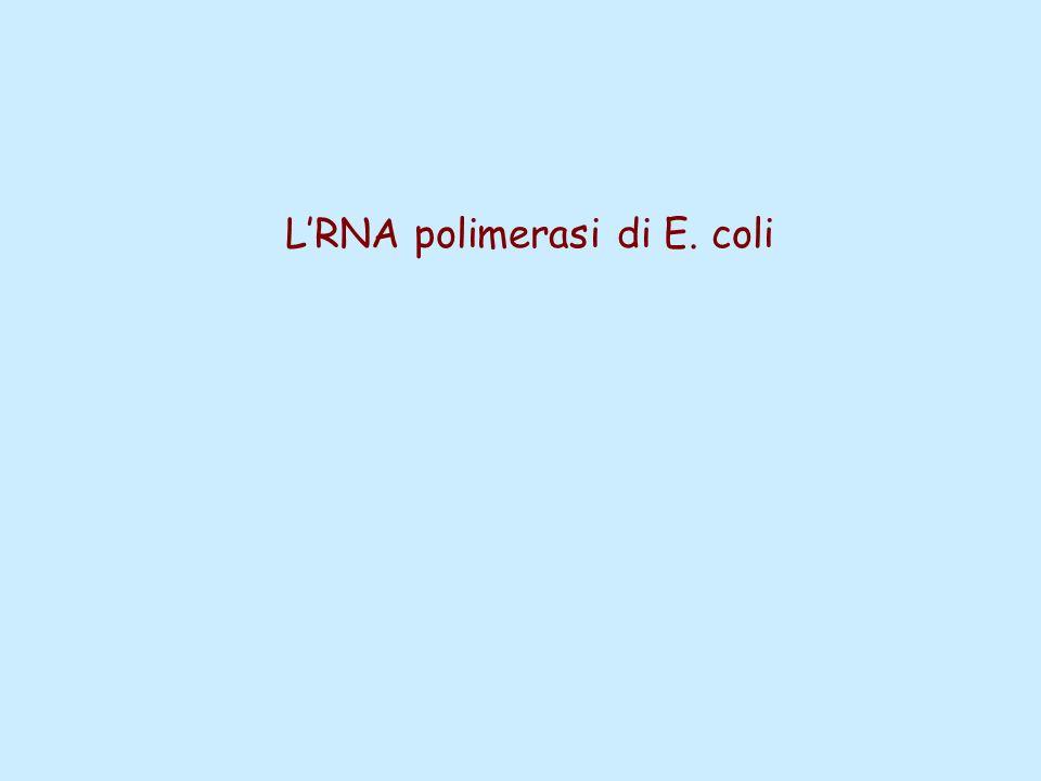 LRNA polimerasi di E. coli