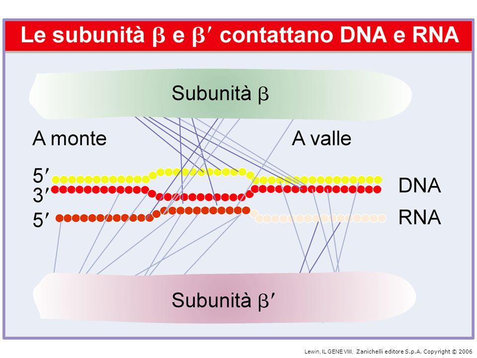 InibitoreEnzima bersaglioAzione dell inibitore Rifamicina Streptolidigina Actinomicina D a -Amanitina oloenzima proc.