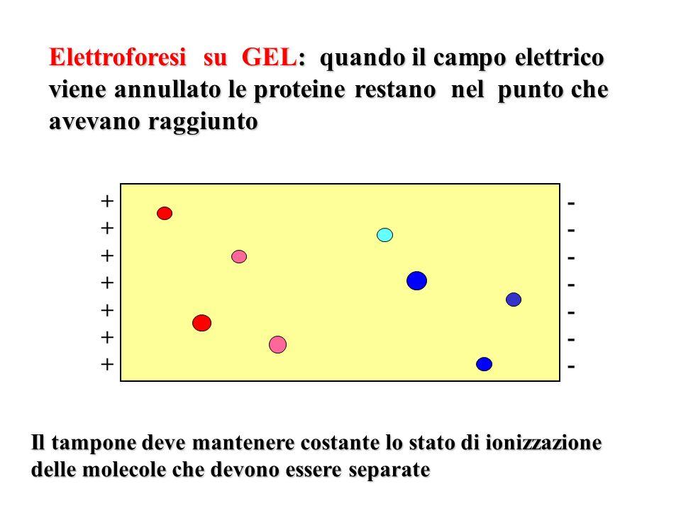 ++++++++++++++ -------------- Il tampone deve mantenere costante lo stato di ionizzazione delle molecole che devono essere separate