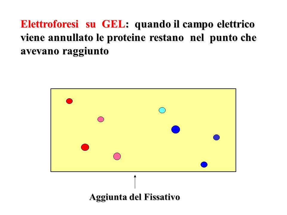 Elettroforesi su GEL: quando il campo elettrico viene annullato le proteine restano nel punto che avevano raggiunto Aggiunta del Fissativo