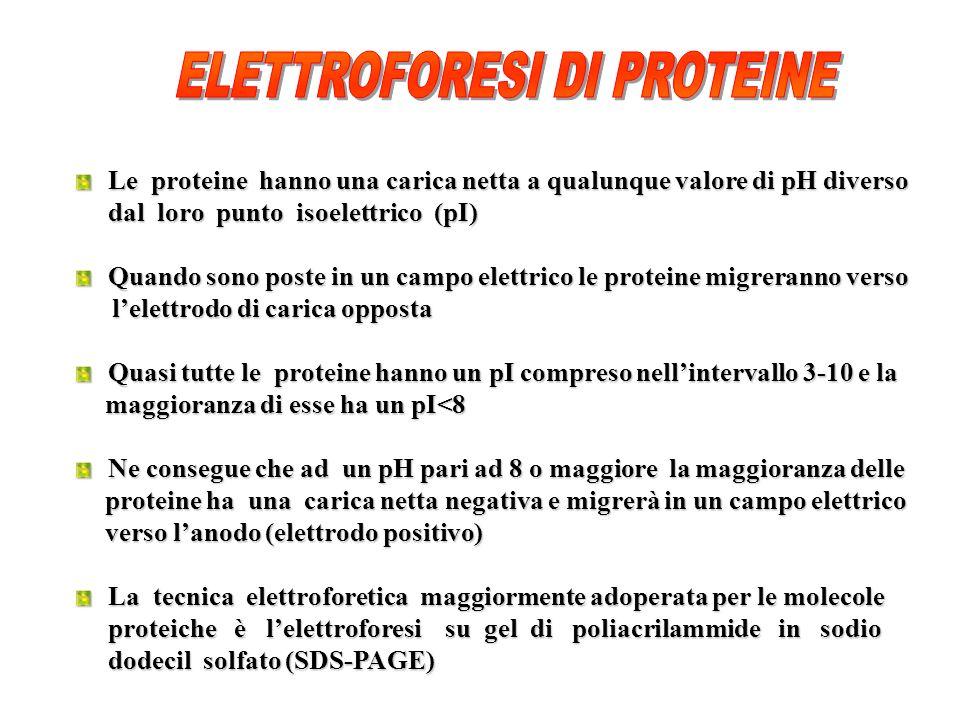 Le proteine hanno una carica netta a qualunque valore di pH diverso dal loro punto isoelettrico (pI) Quando sono poste in un campo elettrico le proteine migreranno verso lelettrodo di carica opposta lelettrodo di carica opposta Quasi tutte le proteine hanno un pI compreso nellintervallo 3-10 e la maggioranza di esse ha un pI<8 maggioranza di esse ha un pI<8 Ne consegue che ad un pH pari ad 8 o maggiore la maggioranza delle proteine ha una carica netta negativa e migrerà in un campo elettrico proteine ha una carica netta negativa e migrerà in un campo elettrico verso lanodo (elettrodo positivo) verso lanodo (elettrodo positivo) La tecnica elettroforetica maggiormente adoperata per le molecole proteiche è lelettroforesi su gel di poliacrilammide in sodio dodecil solfato (SDS-PAGE)