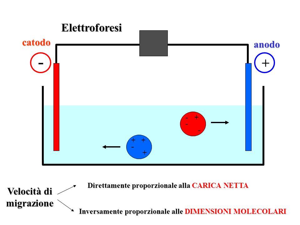 Elettroforesi - + + - + - + - Velocità di migrazione Direttamente proporzionale alla CARICA NETTA Inversamente proporzionale alle DIMENSIONI MOLECOLARI catodo anodo