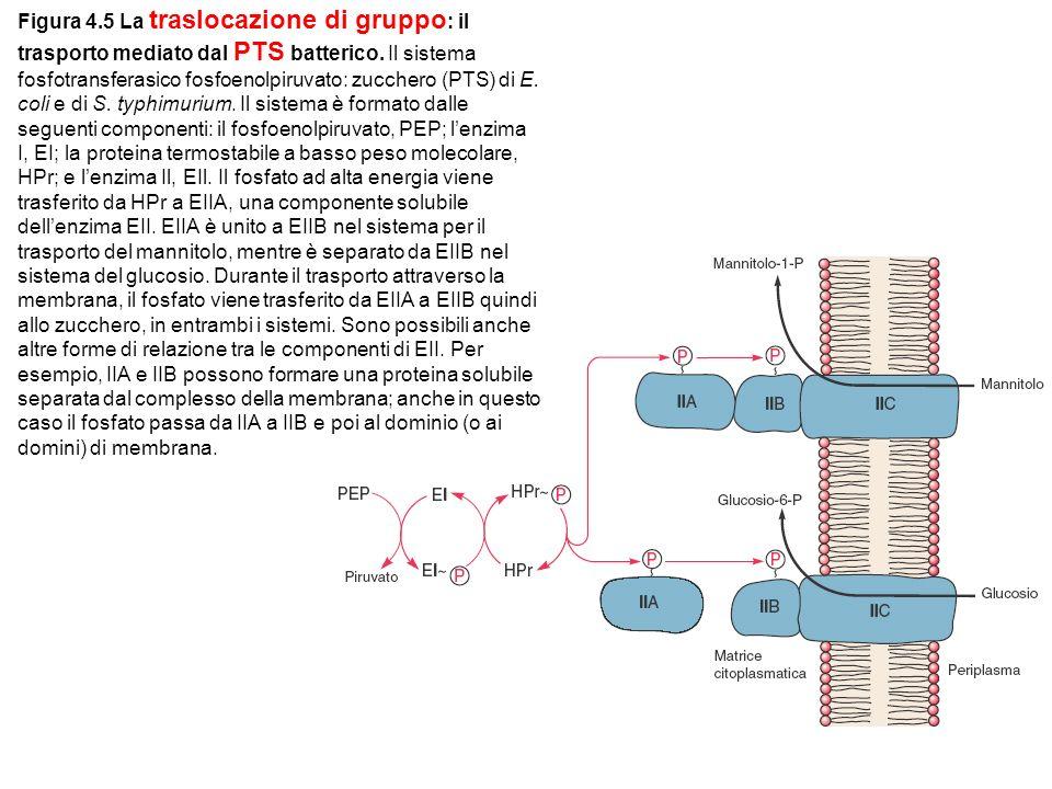 Figura 4.5 La traslocazione di gruppo : il trasporto mediato dal PTS batterico.