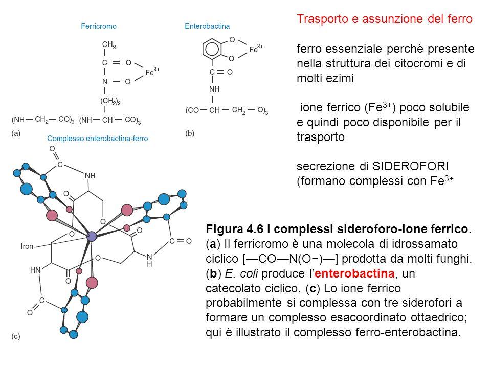 Figura 4.6 I complessi sideroforo-ione ferrico.