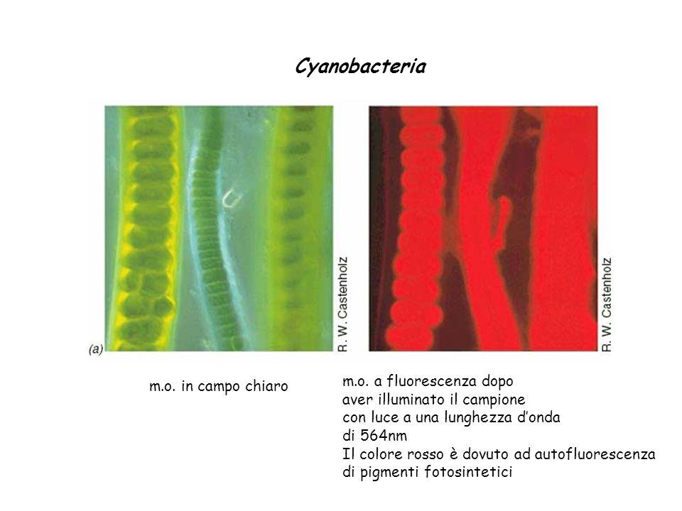 Cyanobacteria m.o. in campo chiaro m.o. a fluorescenza dopo aver illuminato il campione con luce a una lunghezza donda di 564nm Il colore rosso è dovu
