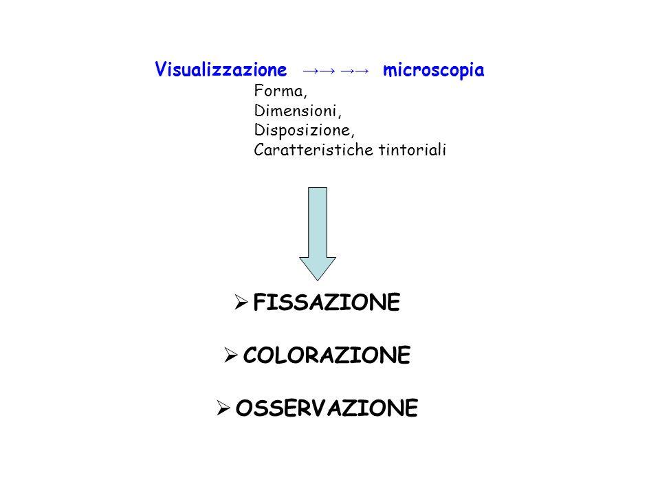 Visualizzazione microscopia Forma, Dimensioni, Disposizione, Caratteristiche tintoriali FISSAZIONE COLORAZIONE OSSERVAZIONE